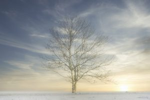 Lone single one tree in white winter fog scene for peace tranquility and mindfulness and low sun light with blue sky at sunset UK